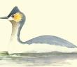Podiceps andinus / Zambullidor Cira