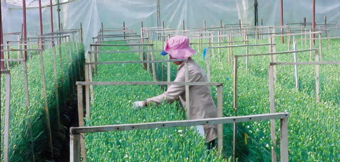 Baño de rosas para los dolores en la industria floricultora