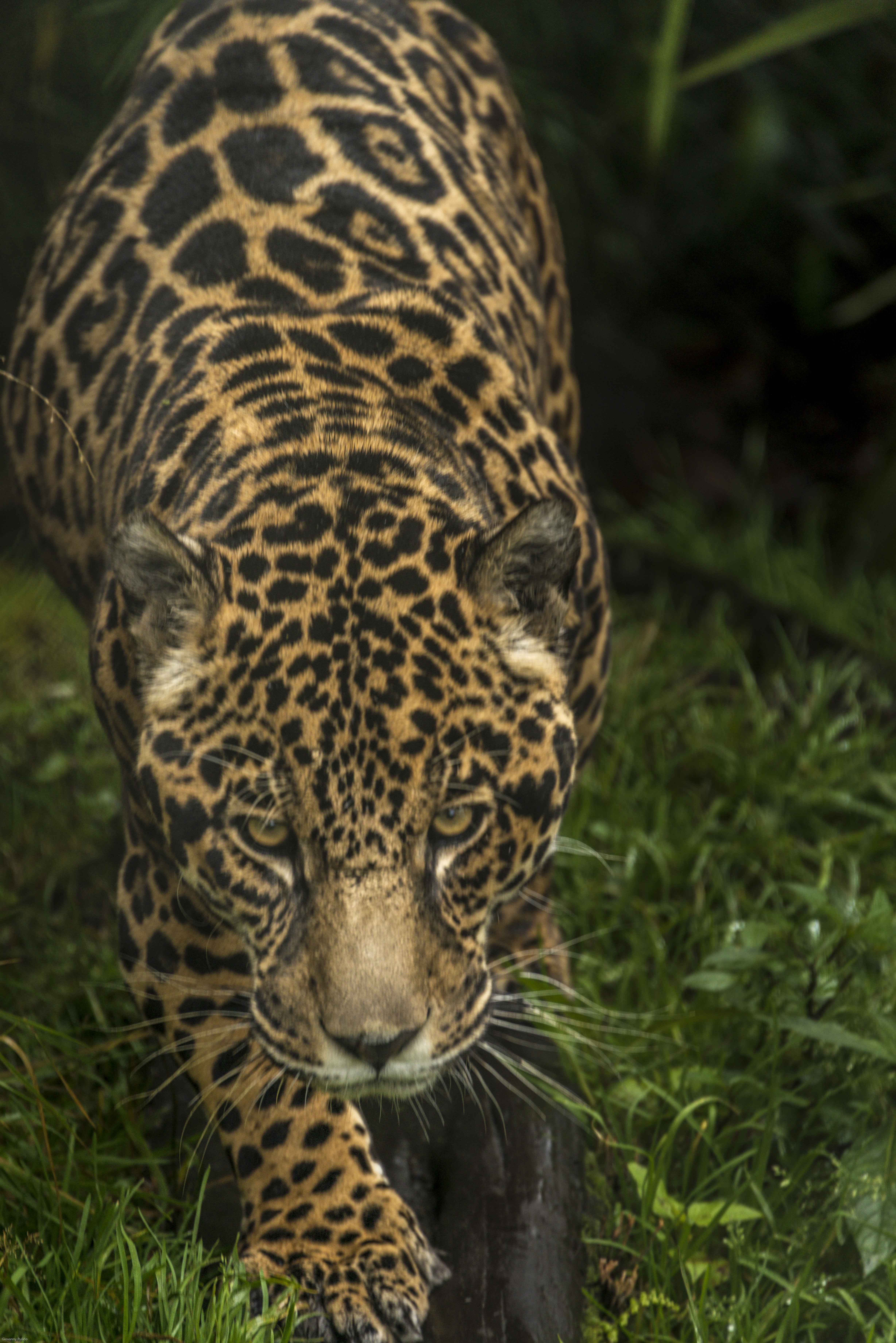 Jaguar 2 foto por Giovanny Pulido
