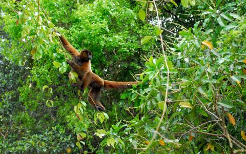 Mono churuco Amacayacu