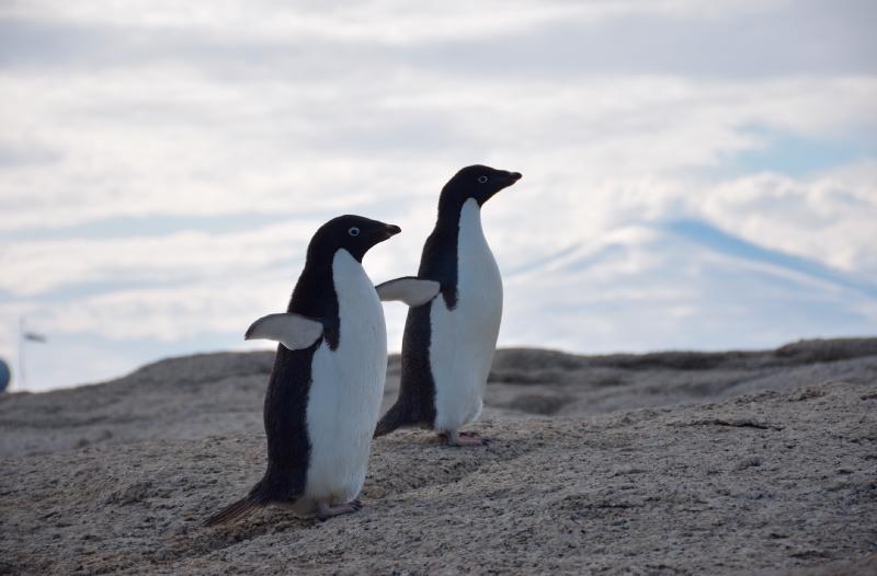 Pinguüino Adele