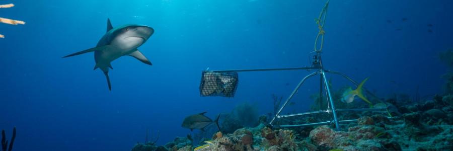 Alerta tiburón: 1 de cada 5 arrecifes del mundo ya no tiene tiburones